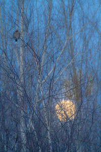 Ruffed Grouse and full moon CR83 Sax-Zim Bog MN IMG_0166