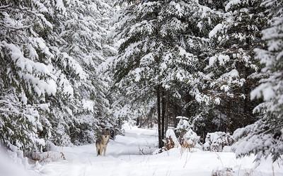 Timber Wolf CR52-Arkola Road just west of Cotton Sax-Zim Bog MN  IMGC5979