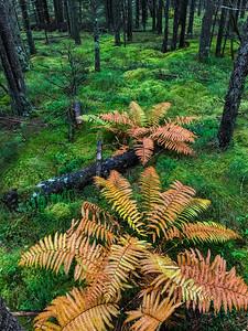 ferns Warren Woessner Bog Boardwalk Warren Nelson Memorial Bog Sax-Zim Bog MN  IMG_9124