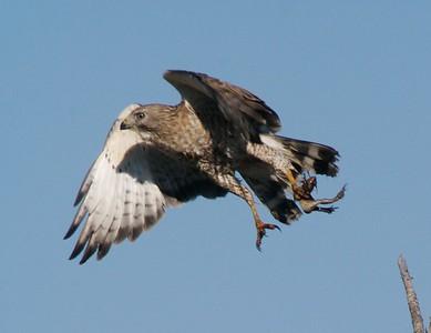 Broad-winged Hawk eating frog [May 2008, Sax-Zim Bog, Minnesota]