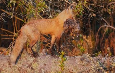 Red Fox with Muskrat Nichols Lake Rd Sax-Zim Bog MN IMG_0019972