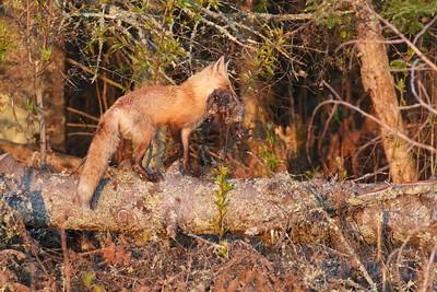 Red Fox with Muskrat Nichols Lake Rd Sax-Zim Bog MN IMG_0019971