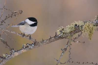 Black-capped Chickadees must eat non-stop during cold winter days in order to maintain their 104 degree internal temperature [January; Admiral Rd, Sax-Zim Bog, Minnesota]