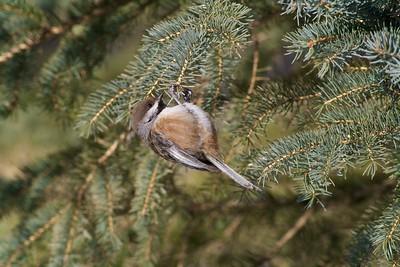 Boreal Chickadees, like other chickadees, are real acrobats [March; Sax-Zim Bog Minnesota]