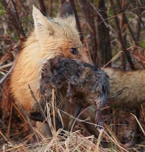 Red Fox with Muskrat Nichols Lake Rd Sax-Zim Bog MN IMG_0019964