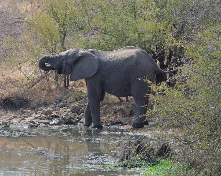 African Elelphant