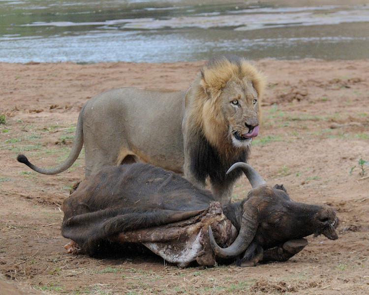 Lion with kill