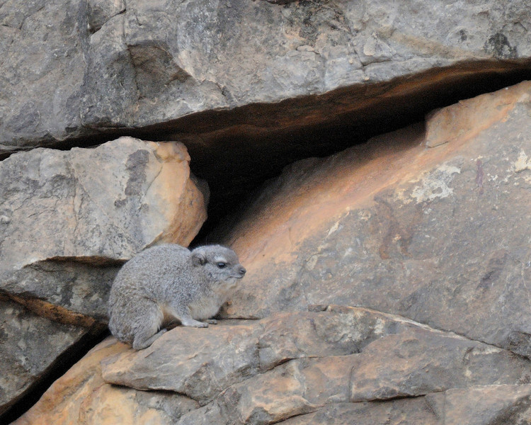 Yellow-spotted Rock Dassie