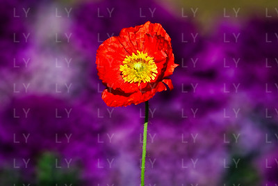 Crumpled Poppy