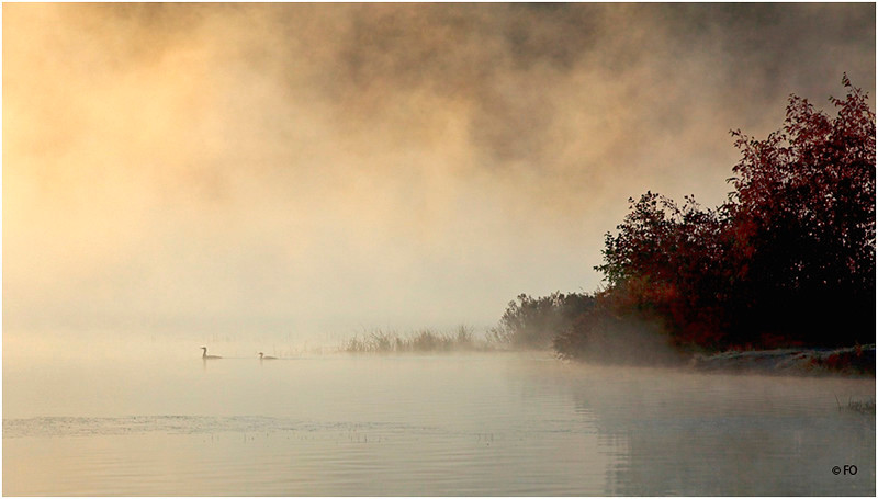 "Print title:  ""  LOONS IN THE MIST ""  / © FO"