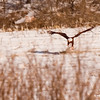If you look just to the left of the Eagle there is a Red Tail Hawk making a pass at the Eagle.