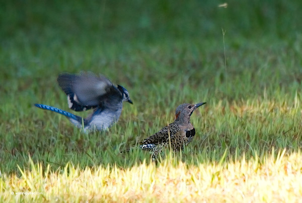 NORTHERN FLICKER AND BLUE JAY