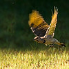 NORTHERN FLICKER FLIGHT PHOTO, JUST NOT SHARP ENOUGH