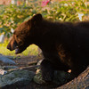 JUVENILE BLACK BEAR ENJOYING SOME BIRD SEED