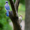 BLUE JAY AND RED BELLY WOODPECKER