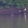 Eagle chasing a wood duck