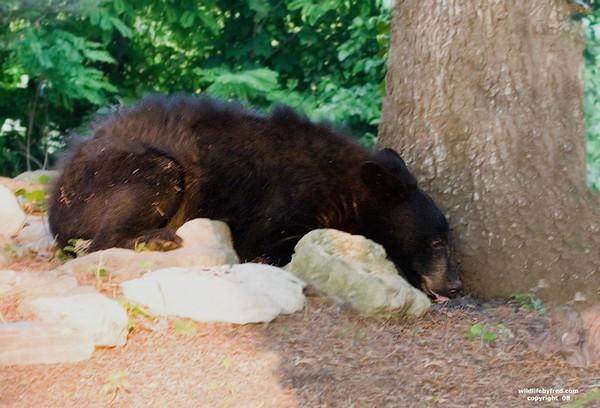 JUVENILE BLACK BEAR ENJOYING SOME BIRD SEED