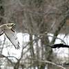 REDTAIL HAWK AND CROW