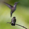I was hoping to capture the two hummingbirds, but I blew the shot of their fight.
