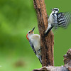 RED BELLY AND DOWNY WOODPECKERS