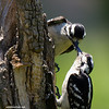HAIRY WOODPECKER FEEDING ITS YOUNG
