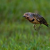 NORTHERN FLICKER JUMPING TO A NEW LOCATION