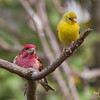 PURPLE AND GOLD FINCHES