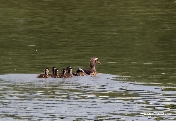 FEMALE WOOD DUCK AND YOUNG