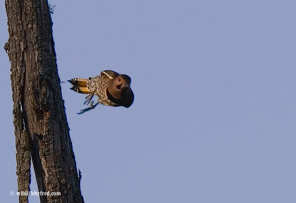 NORTHERN FLICKER FLIGHT PHOTO, ANOTHER FLIGHT PHOTO THAT IS NOT SHARP ENOUGH