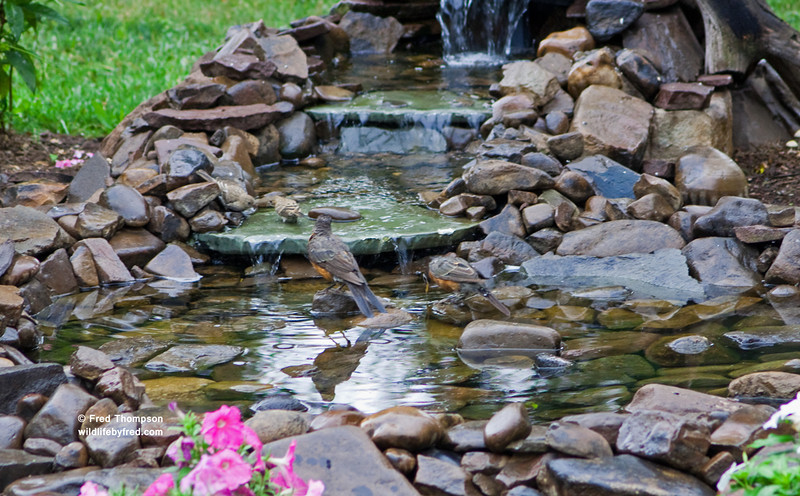 These photos show how much birds love the water, not the best of photos of the birds though. 4 birds in a small area of my bird bath.