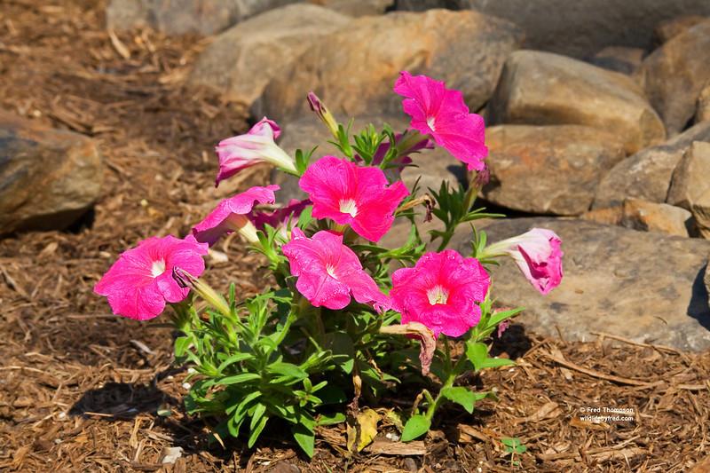 MY BACKYARD FLOWERS