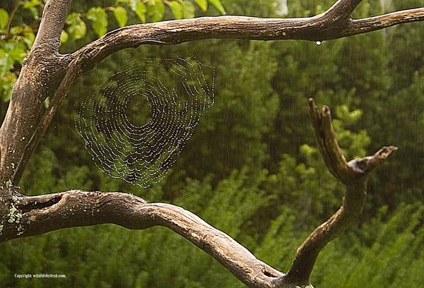 Rainy day spider webs