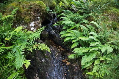 Ferns and Streams