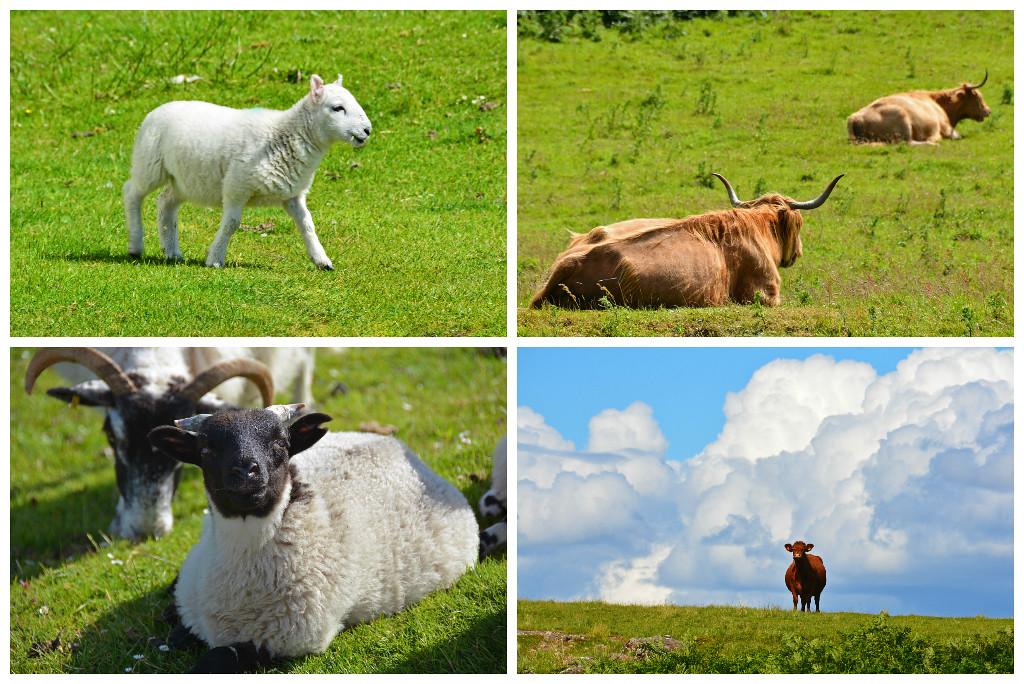 Isle Mull animals