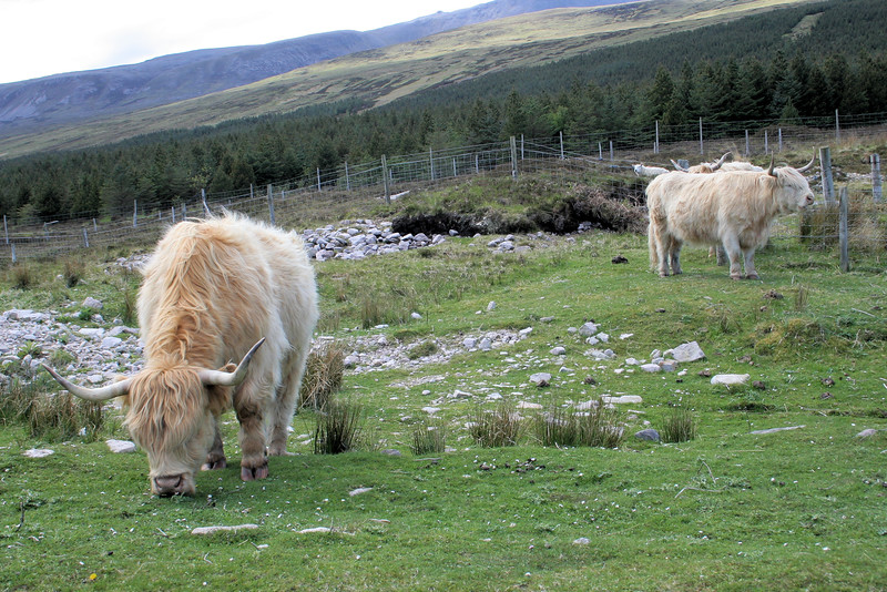 Long haired Highland cattle