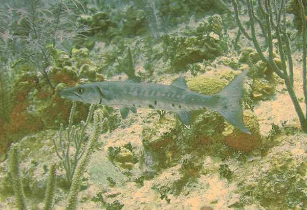 Small Barracuda. Probably about 2 feet long.