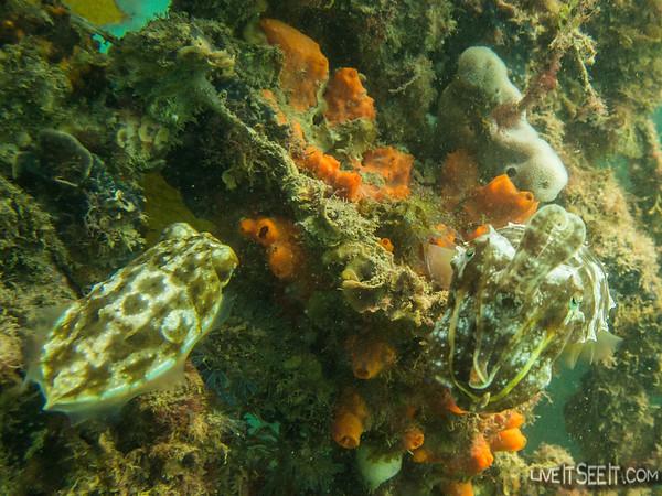 Cuttlefish at Clifton Gardens
