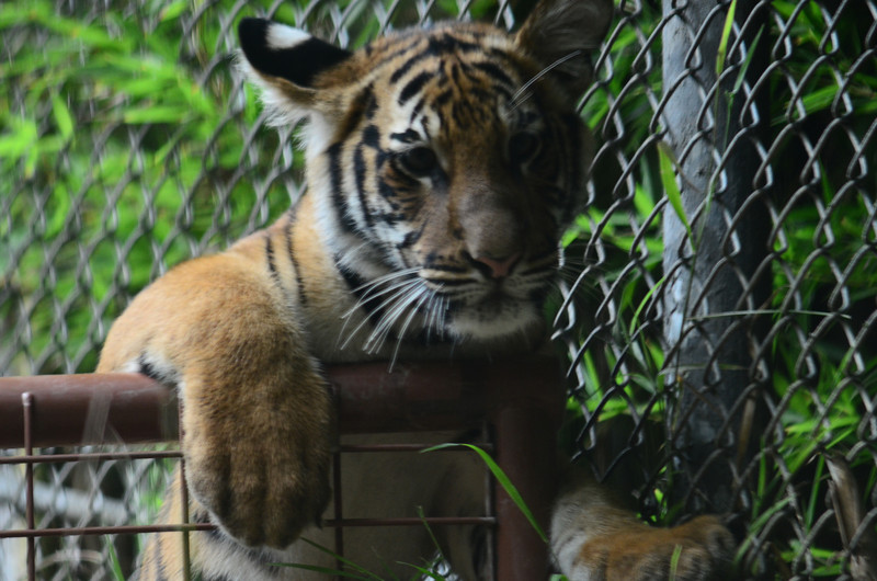 Malayan tiger cub Conner looking over the fence.