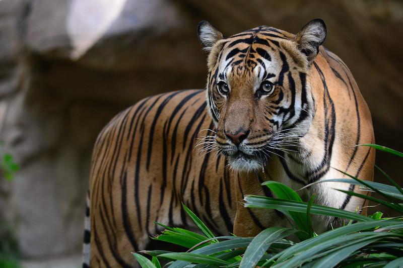 IMAGE: https://photos.smugmug.com/SDZoo-WAP/San-Diego-Zoo-Aug-20-2016/i-MF9vN5F/0/1d2fe763/L/DSC_1589-L.jpg