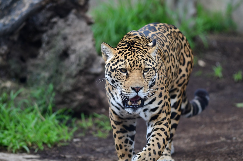 Here Are A Few Recent Pictures Of Valerio, The Young Male Jaguar At The San  Diego Zoo.