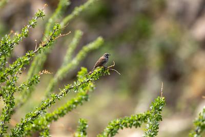 Five-striped Sparrow Box Canyon Santa Rita Mountains southeast Arizona trip July 2021 IMGC2104
