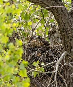 Cooper's Hawk nest? Box Canyon Santa Rita Mountains southeast Arizona trip July 2021 IMGC3009