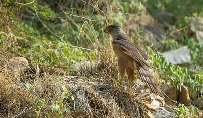Cooper's Hawk hunting Box Canyon Santa Rita Mountains southeast Arizona trip July 2021 IMGC2817
