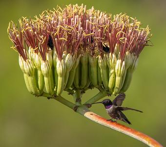 Black-chinned Hummingbird male Box Canyon Santa Rita Mountains southeast Arizona trip July 2021 IMGC2828