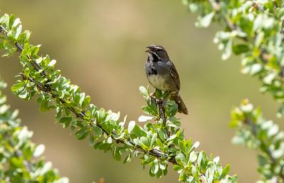 Five-striped Sparrow Box Canyon Santa Rita Mountains southeast Arizona trip July 2021 IMGC2170