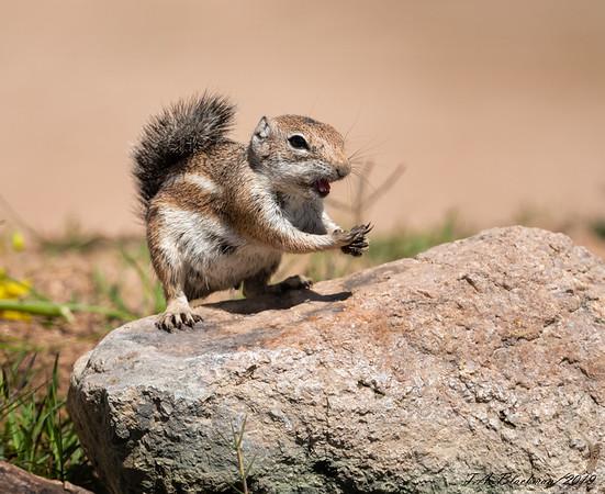 Harris Antoelope Ground Squirrel