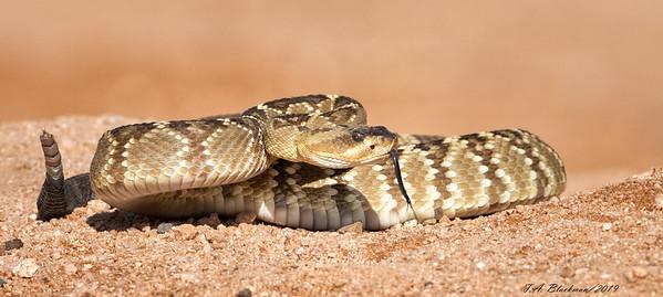Blacktailed Rattlesnake