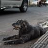 Dog Chilling in Traffic
