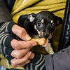 Benji, an eight-week-old Chihuahua, waits in line with his owners during the annual Second Chance Animal Shelter Vaccine and Microchip Clinic at the Fitchburg Fire Department on Saturday, March 4, 2017. During the clinic, sponsored by Be PAWSitive, Friends of Fitchburg DOGS, Inc and the Fitchburg Fire Department, Rabies and Distemper/Parvo vaccines were available for $5 each, and microchips for $20. SENTINEL & ENTERPRISE / Ashley Green