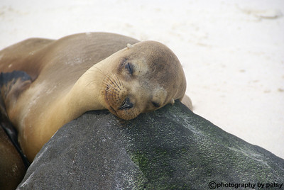 SEA LION BABY - PUNTA SUAREZ in the GALAPAGOS ISLANDS WAITING FOR MOM TO GET BACK FROM FISHING